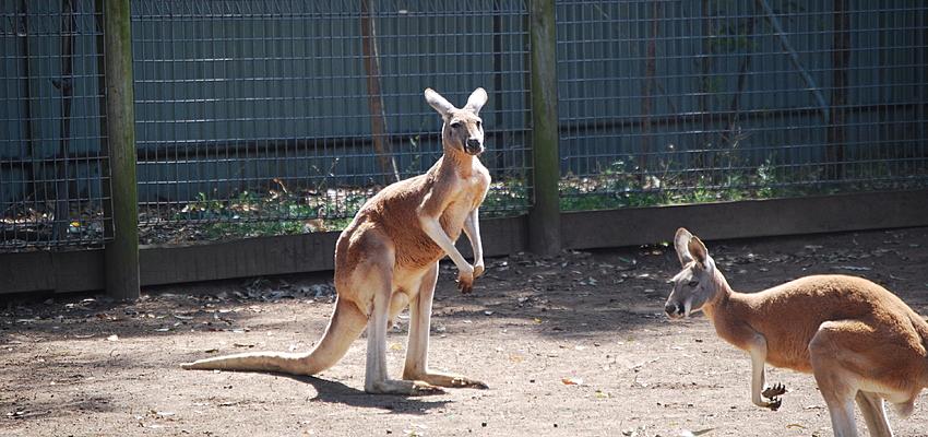 Les célèbres kangourous australiens