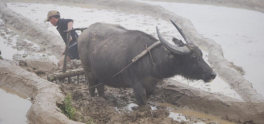 El búfalo con el que se trabaja en los arrozales