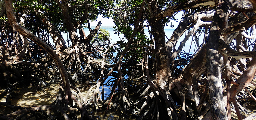 Los manglares de Nueva Caledonia
