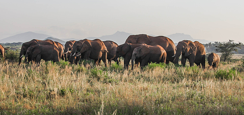 Elephants à Samburu