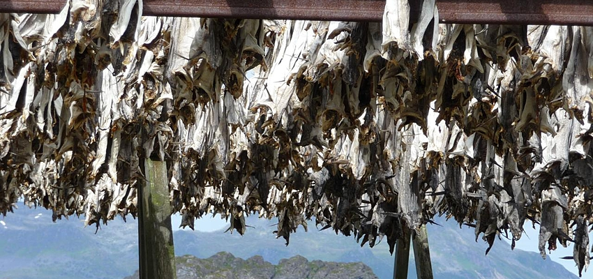 Drying salt cod in Norway