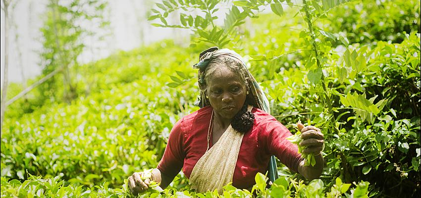 La cosecha del té
