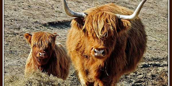 Las vacas de las Highlands