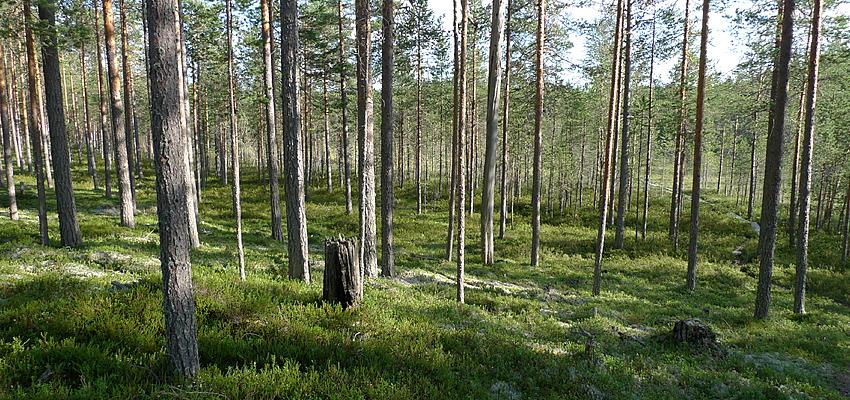 Une forêt de Finlande