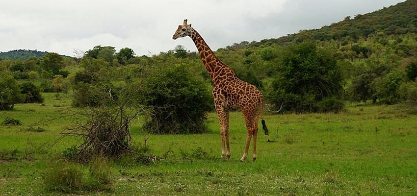 Girafe dans le parc Akagera