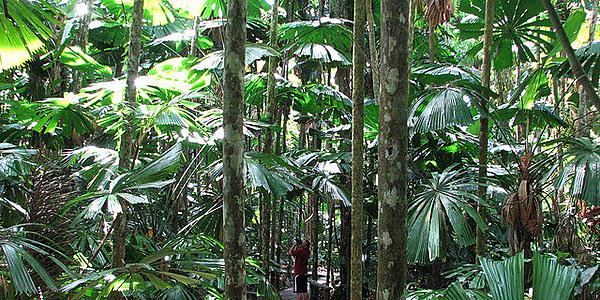 Ruta de trekking en la selva húmeda de Daintree