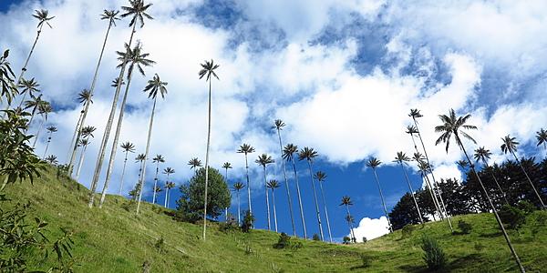 Les palmiers de cire poussent comme des champignons !