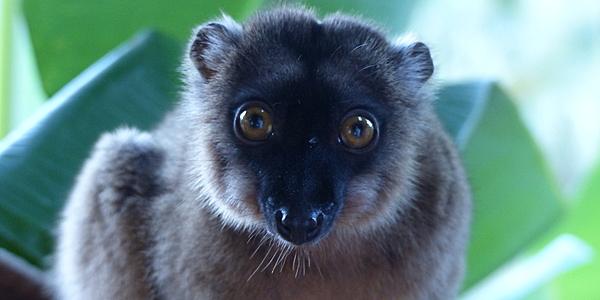 Un maki de Mayotte