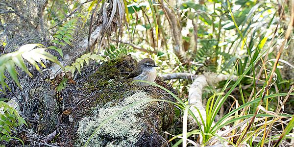 La tarabilla, ave endémica de la Reunión