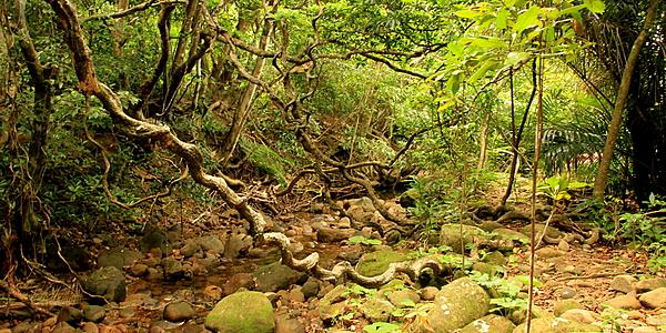 Jungle à Iriomote