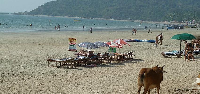 Una vaca sagrada en la playa de Palolem, India