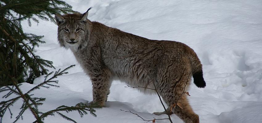 Lynx en Slovaquie