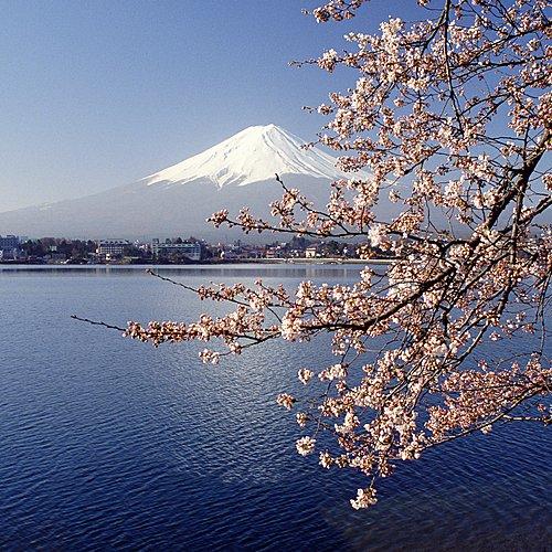 Au rythme des cerisiers en fleurs - Kyōto -
