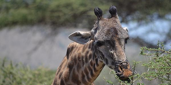 Una jirafa en Selous