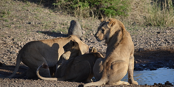 The lions of Ruaha