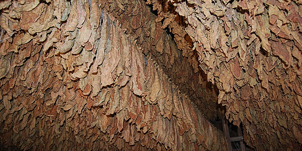 Secado de las hojas de tabaco