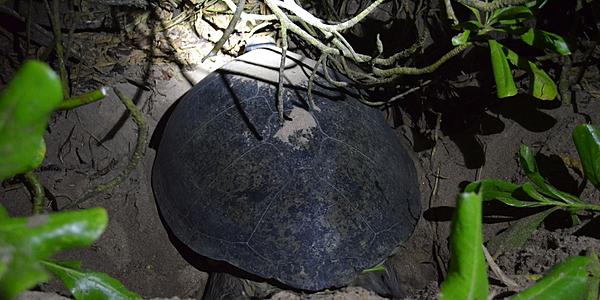 Guatemala le tartarughe in guatemala evaneos for Deposizione uova tartarughe terrestri