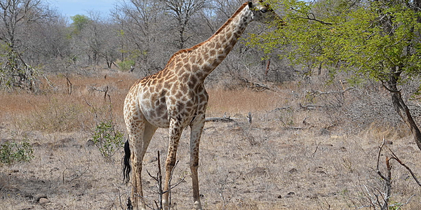 Encuentro con una jirafa