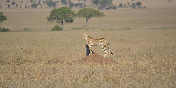 Un magnífico guepardo.
