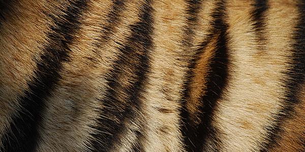 El pelaje de un tigre