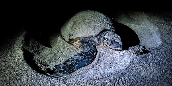 La deposizione delle uova delle tartarughe di mare a Masira