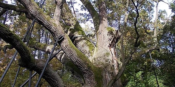 Árbol centenario de la región de Kielce