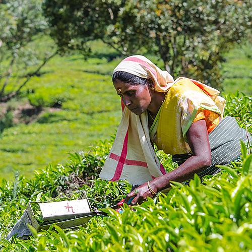 Kerala, des Backwaters aux plantations de thé - Kochi -