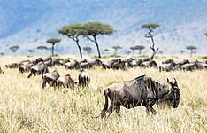 Safari au coeur de la grande migration