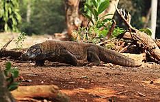 Flores Ouest , Trekking et croisière à Komodo