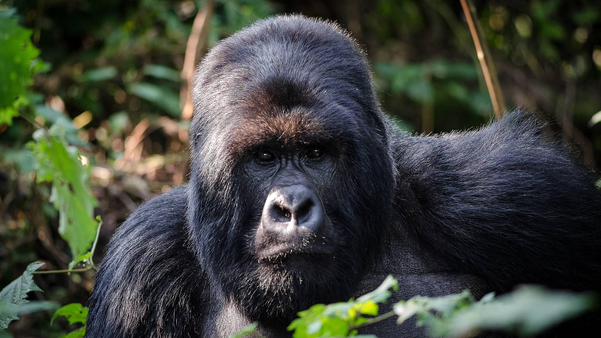 Extension Gorilles