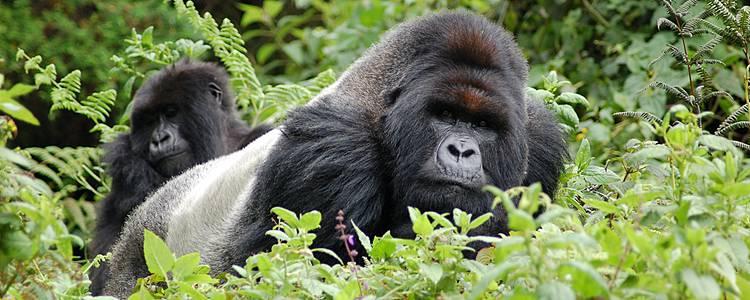 Extension Gorilles-version charme
