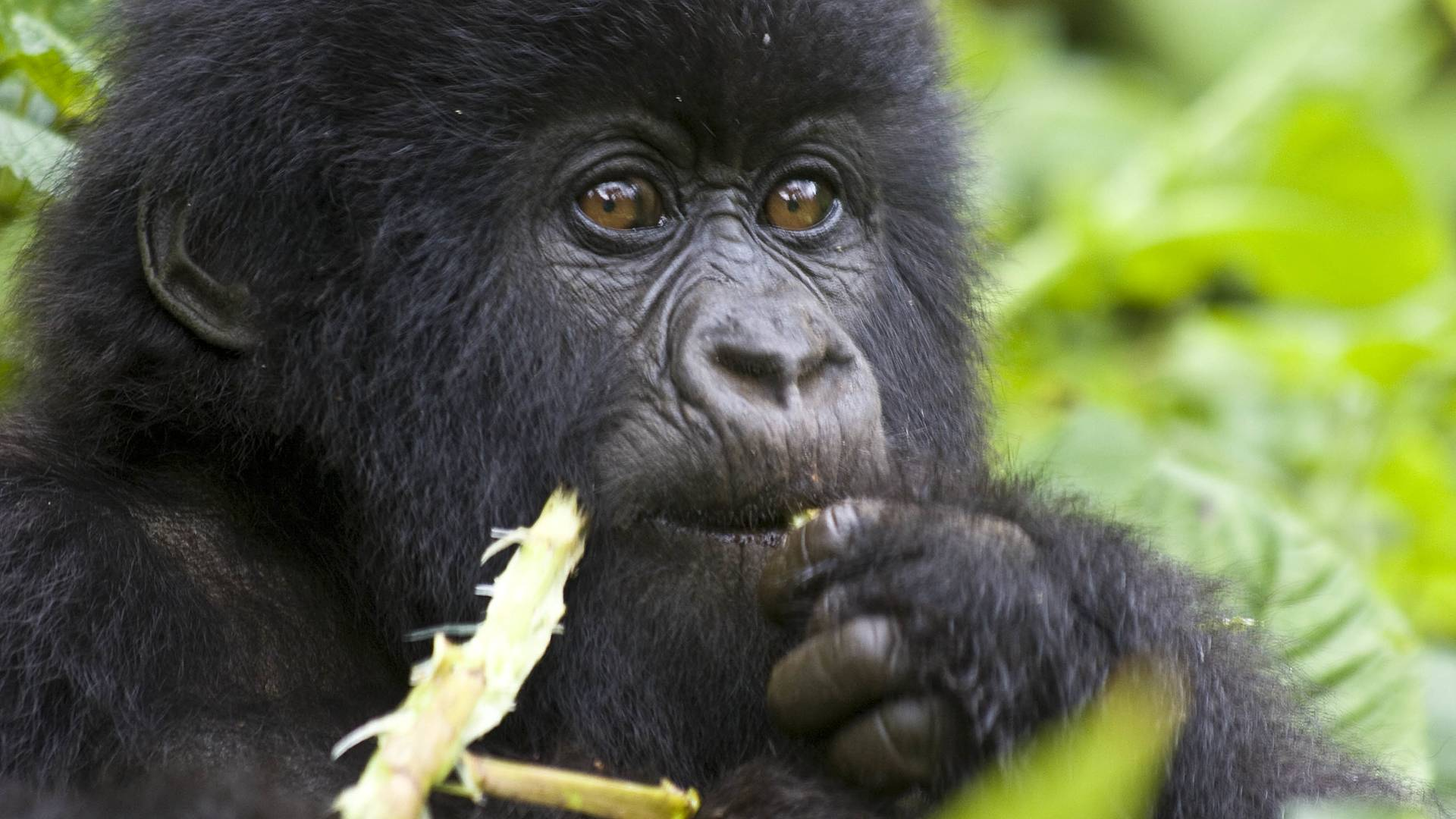 Ouganda-Rwanda, pays des volcans et des primates