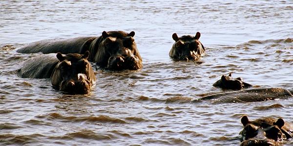 Hippopotames dans le Kwando-Chobe, affluent du Zambèze