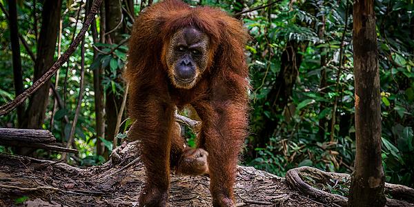Orangután en Sumatra