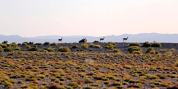 Gacelas en Mongolia