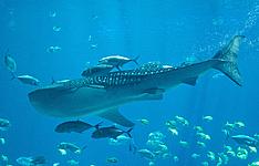 Ariston Dhangethi Inn, expérience locale et requins baleines