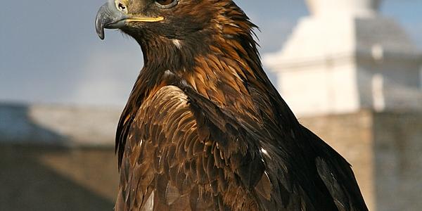 Mongolie - Aigle chasseur @ flickr cc François  Philipp
