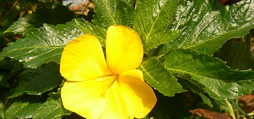 Une des nombreuses fleurs de la Dominique