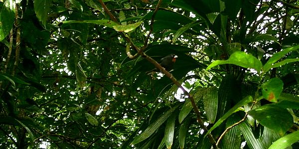 Oiseau le long du Waitukubuli National Trail