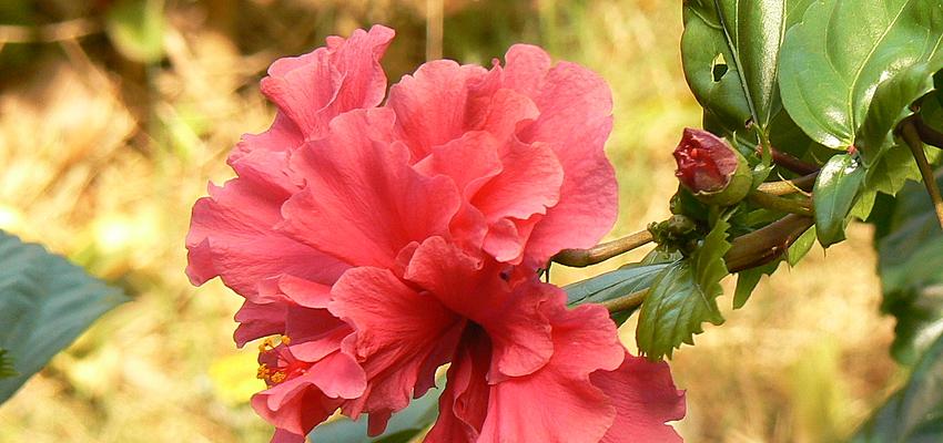 Une magnifique hibiscus à la Dominique
