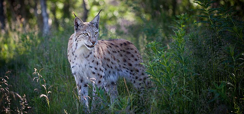 Le lynx boréal, la faune typique en Macédoine