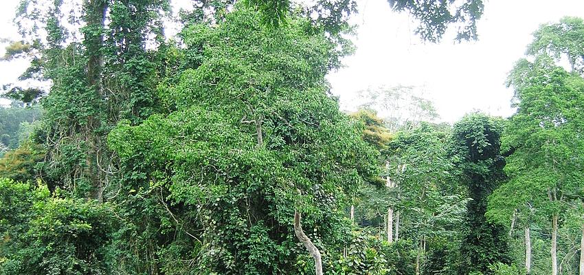 Canopée de la forêt tropicale de Kakoum