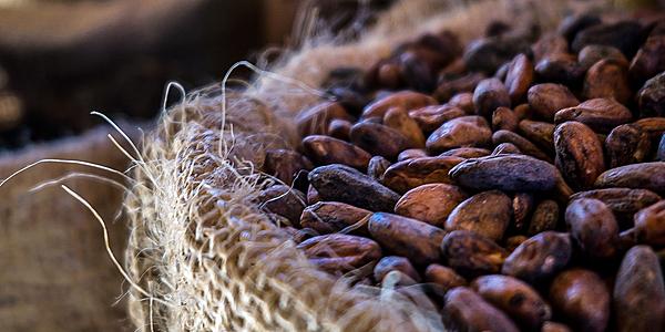 Les graines de cacao
