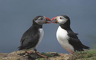 Pingouins  Islande