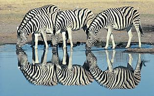 Zèbres en Namibie
