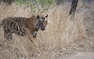 Tigre du Bengal
