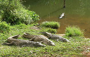 Le fleuve des crocodiles