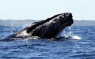 Baleine à bosses Nosy Boraha