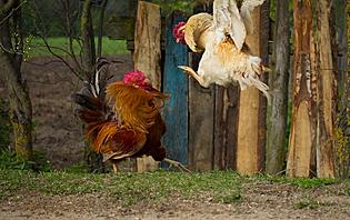 Combats de coq