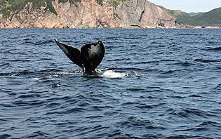 Baleines remontant le Saint-Laurent